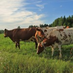112vet Cows (2)