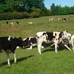 112vet Cows (6)