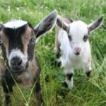 112vet Goats