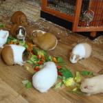 112vet Guinea-pigs