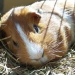 112vet Guinea_pig