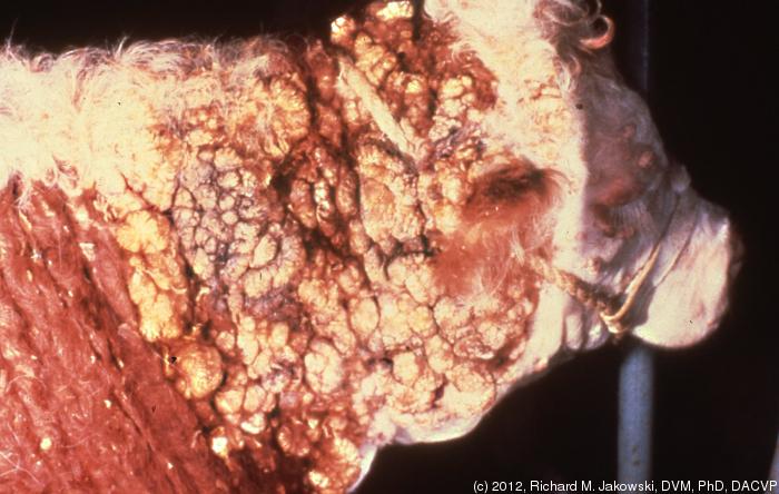 112vet Papilomatoza  bovina