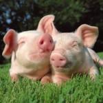 112vet Pigs (2)