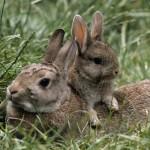 112vet Rabbits