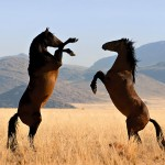 112vet Wild_Horses