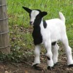 112vet baby_goats (2)