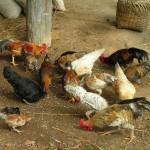 112vet chickens