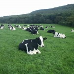 112vet cows (4)