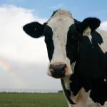112vet cows (7)