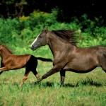 112vet galloping_horses