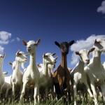 112vet goats (2)