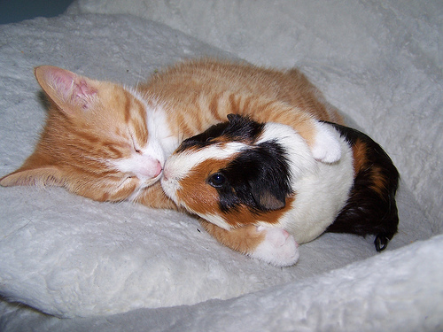 112vet guinea pig and cat