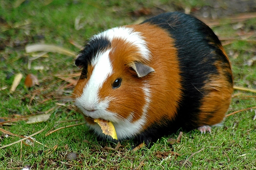 guineea pierdere în greutate de porc bătrânețe