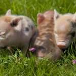 112vet pigs