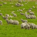 112vet sheep