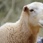 112vet sheep (2)