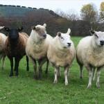 112vet sheep (5)