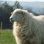 112vet sheep (8)