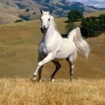 112vet white horse