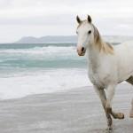 112vet white-horse