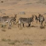 112vet wild-donkeys