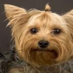 112vet yorkshire-terrier